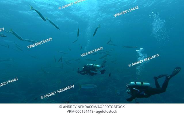 Two scuba divers man and woman swim in the school of Yellow-tail Barracuda (Sphyraena flavicauda) Underwater shot, 4K / 60fps