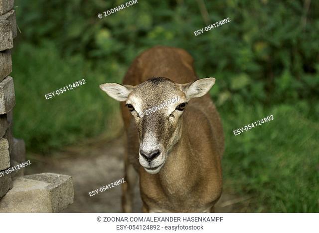The European Roe Deer - Capreolus capreolus