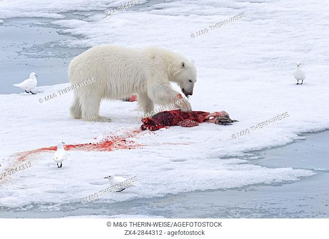Female Polar bear (Ursus maritimus) with prey on pack ice, Svalbard Archipelago, Barents Sea, Norway, Arctic, Europe
