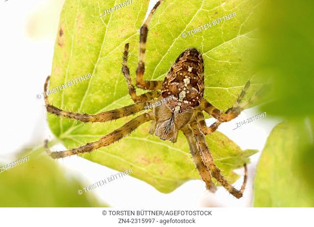Araneus diadematus Garden Spider Sitting under a Gooseberry Leaf, Bad Schallerbach, Austria