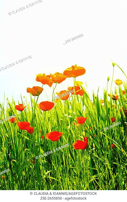 Low angle view of red poppies (Papaver rhoeas) in a field
