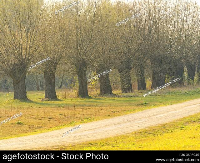 Poland. Early spring. Willow trees