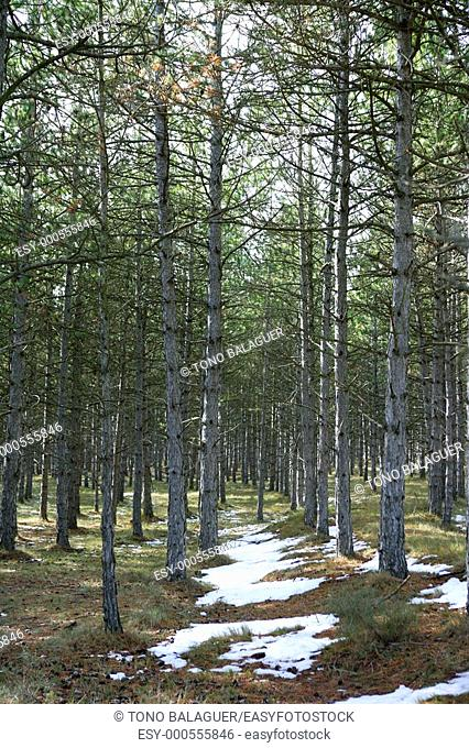 snow track in a pine trees forest vertical, nature