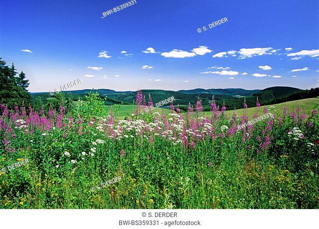 Valerian (Valeriana procurrens), blooming together with willow-herb, Epilobium angustifolium, Germany, North Rhine-Westphalia, Hochsauerland