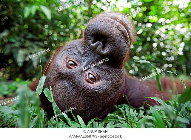 Bornean Orangutan sub-adult male 'Pan' lying on his back - wide angle perspective (Pongo pygmaeus wurmbii). Camp Leakey, Tanjung Puting National Park