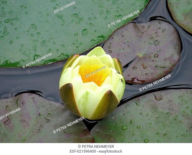 gelbe Seerose - Nymphaea
