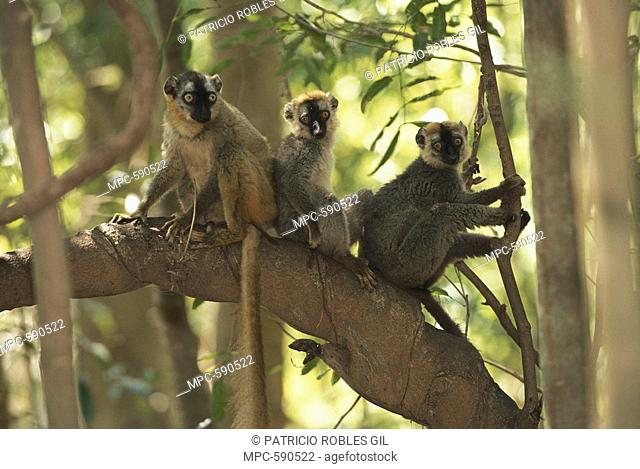 Common Brown Lemur Eulemur fulvus, group in tree, Anjajavy, North western Madagascar