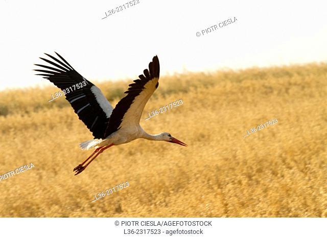 Stork. Poland