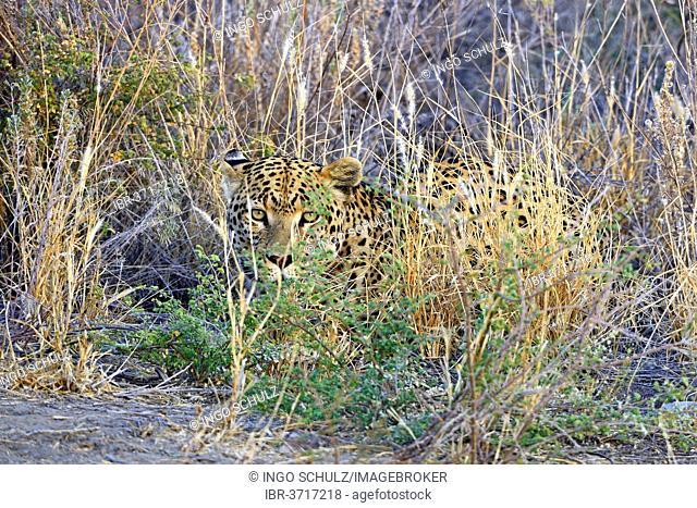 Leopard (Panthera pardus) roaming its territory, Khomas Region, Namibia