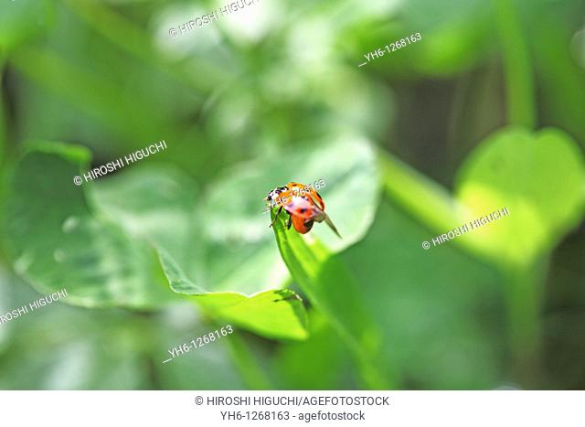 Switzerland, Canton Baselland, ladybird on a blade of grass