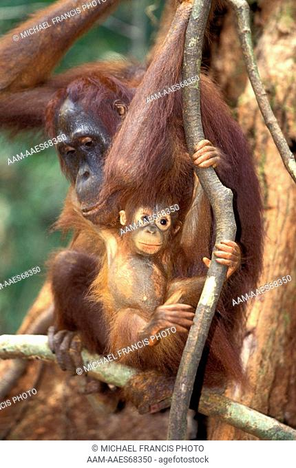 Borneo Orangutan (Pongo pygmaeus), adult female with young in tree, Tanjung Puting National Park Kalimantan Borneo Indonesia