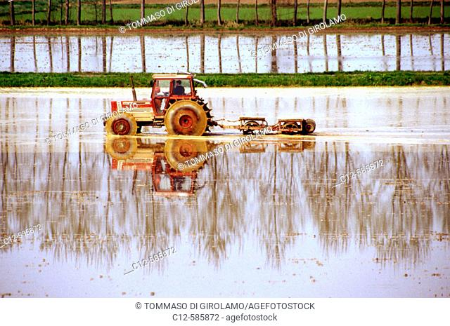 Agriculture rice field