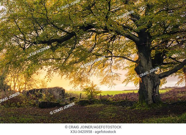 An autumnal sunrise behind a common beech (Fagus sylvatica) at Blackmoor Reserve in the Mendip Hills Area of Outstanding Natural Beauty, Somerset, England