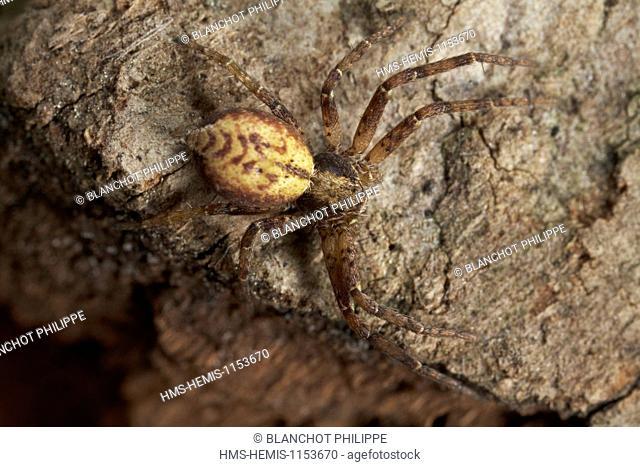 France, Araneae, Philodromidae, Running crab spider(Philodromus sp)