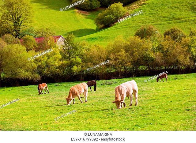 Cows grazing in Pyrenees green autumn meadows at Navarra Spain