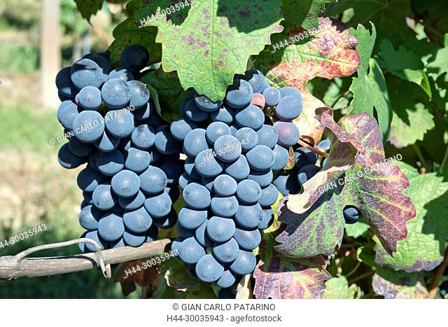 Italy, panorama of vineyards of Piedmont Langhe-Roero and Monferrato on the World Heritage List UNESCO. Bunches of Barbera. Italy, Piedmont, Vineyards