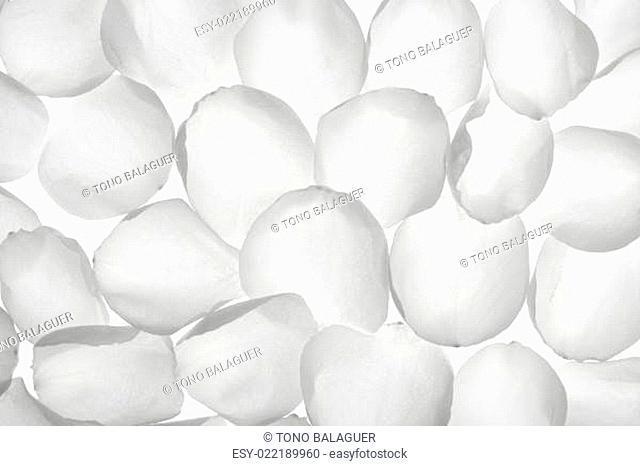White rose transparent petals, wallpaper pattern