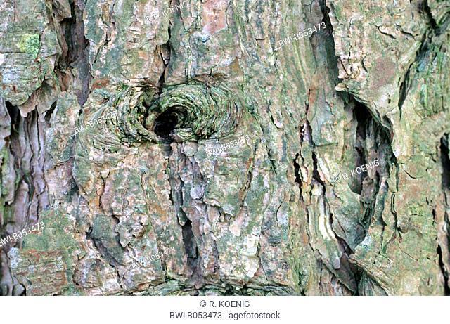 European black pine, Austrian pine, Black Pine, Corsican Pine (Pinus nigra laricio), bark