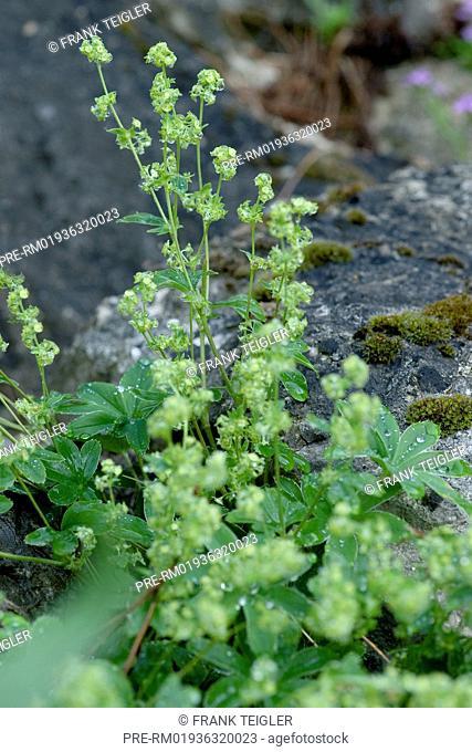Alpine lady's mantle, Alchemilla alpina / Alpen-Frauenmantel, Alchemilla alpina