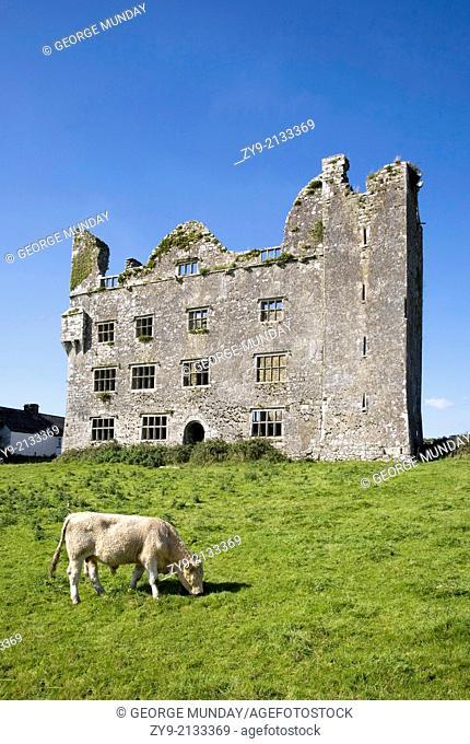 Charolais Calf by 15th Century Leamanagh Castle, The Burren, County Clare, Ireland