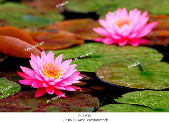 Pink Nymphaea lotus (water lilies) in the pond with lotus background