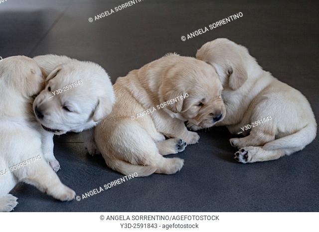Group of little Labrador dogs playings indoors