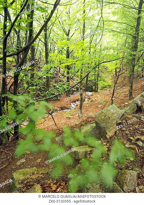 Beech forest (Fagus sylvatica) and Sot de l'Obi small stream at La Nespla site, Arbucies village countryside. Montseny Natural Park