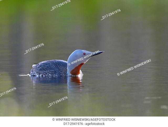 Red-throated diver (Gavia stellata )in breeding plumage, swimming in breeding territory on a moor lake, Sweden