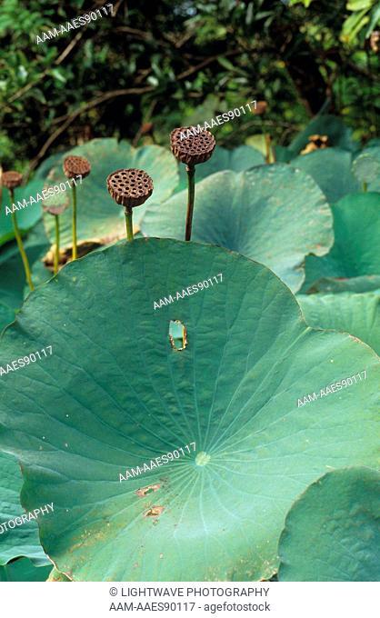 Seed Pods: Sacred Lotus (Nelumbo nucifera) Trinidad - West Indies