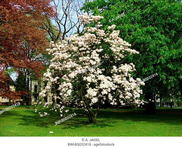 saucer magnolia (Magnolia x soulangiana, Magnolia soulangiana, Magnolia x soulangeana, Magnolia soulangeana), single tree in a park