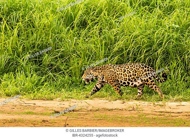 Jaguar (Panthera Onca), Porto Jofre, Northern Pantanal, Brazil
