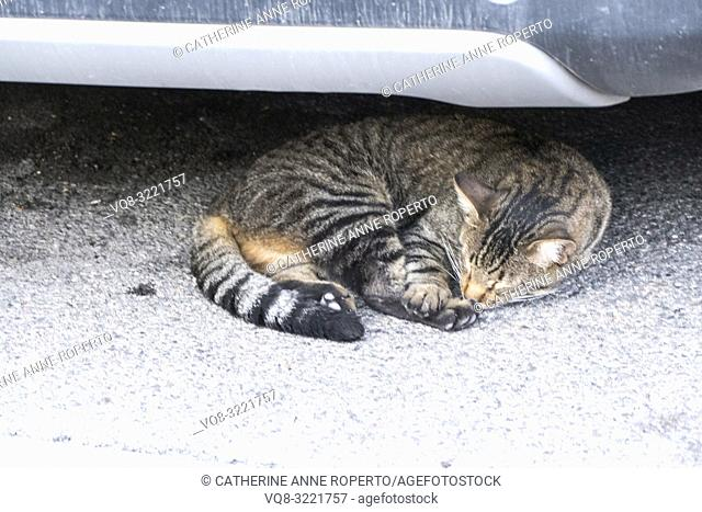 Stripy, tortoiseshell cat with ginger undertones curled up asleep on the grey tarmac underneath a car bumper in L'Isle-sur-la-Sorgue, Vaucluse, Provence, France