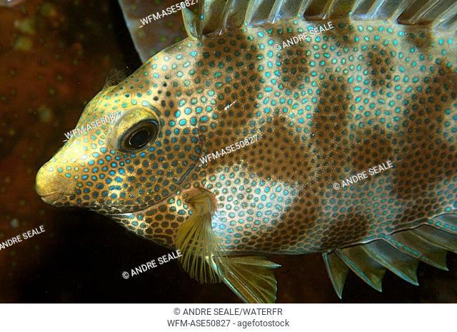 Rabbitfish, Siganus spec., Micronesia, Pacific, Palau