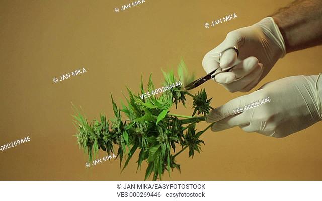 Hands trimming and manicuring marijuana buds