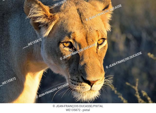 Lioness (Panthera leo), adult female, in evening light, Kgalagadi Transfrontier Park, Northern Cape, South Africa, Africa
