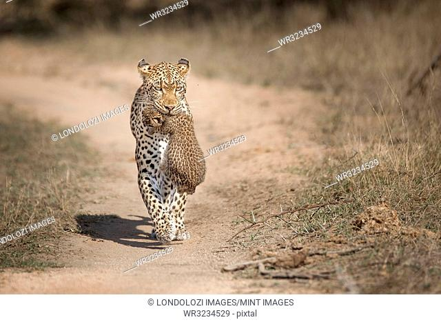 A mother leopard, Panthera pardus, carries her cub in her mouth towards the camera, ears back, along game path