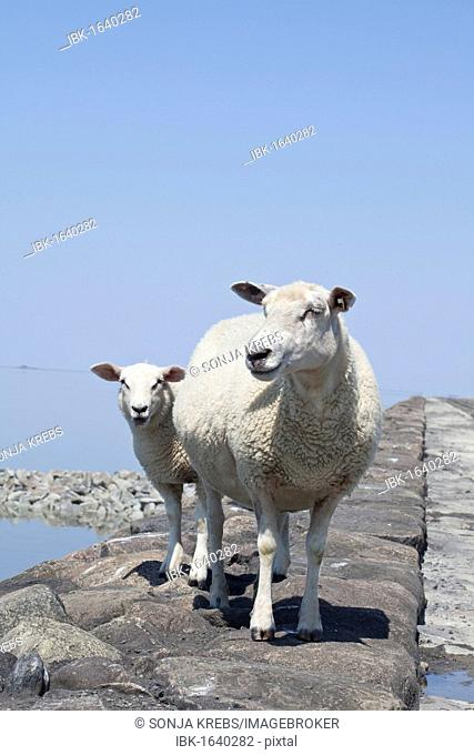 Sheep on the fortified beach on the Hamburger Hallig holm, North Friesland, Schleswig-Holstein, Germany, Europe