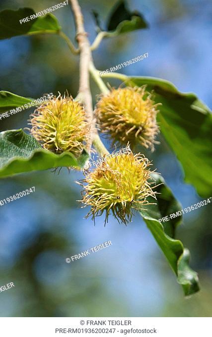 European Beech, Fagus sylvatica / Rotbuche, Fagus sylvatica