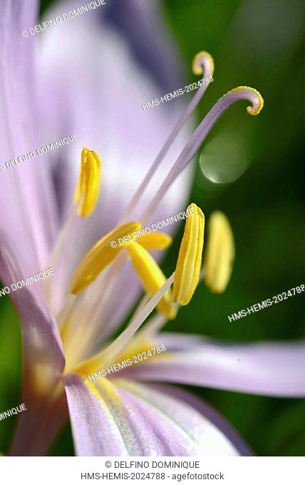 France, Doubs, flora, autumn crocus, autumn crocus, a focus on pistil and stamens