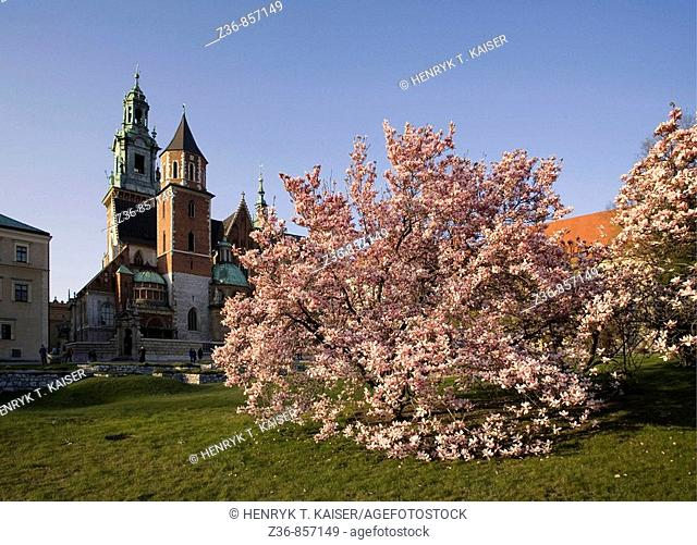 Poland, Krakow, Wawel, Sigismund's Cathedral and Chapel as part of Royal Castle at spring, magnolias trees