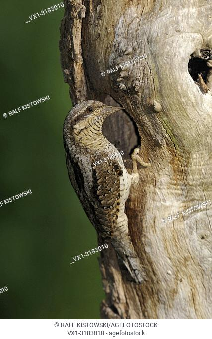 Eurasian Wryneck ( Jynx torquilla ) perched in front of its nesting hole in a rotten tree trunk, wildlife, Europe
