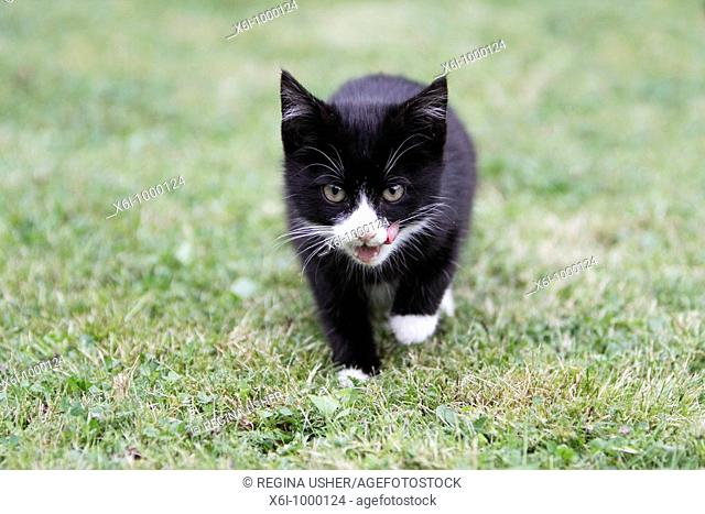 Cat, young black kitten in garden
