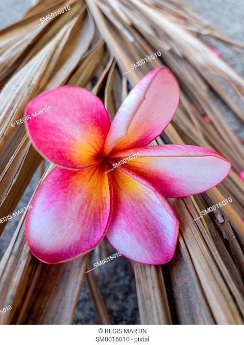 Fallen pink frangipani Plumeria flower