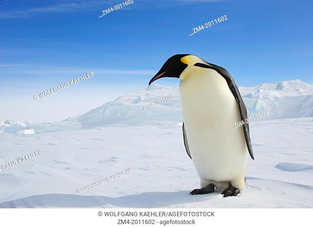 ANTARCTICA, WEDDELL SEA, SNOW HILL ISLAND, EMPEROR PENGUIN Aptenodytes forsteri ON FAST ICE