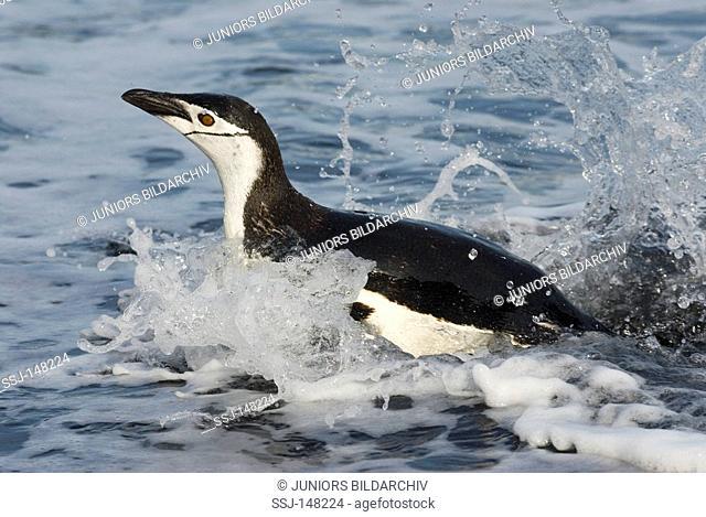 Chinstrap Penguin - swimming / Pygoscelis antarctica