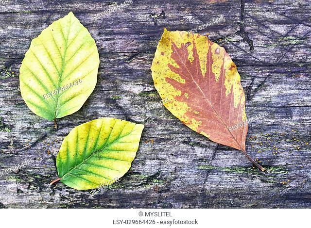 Three autumn beech leaves on old wood