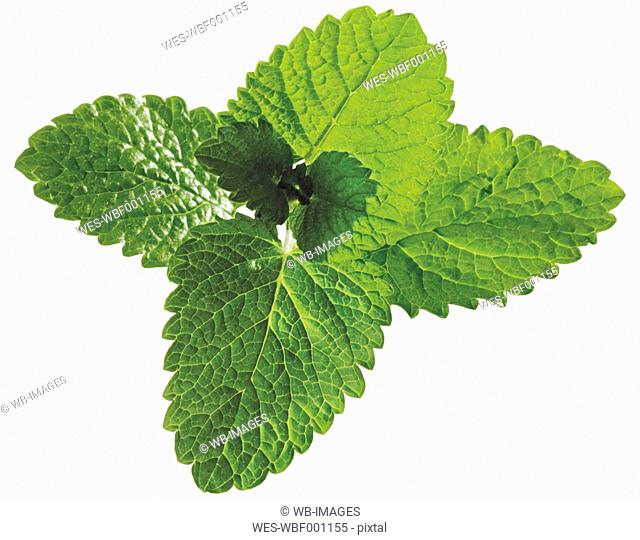 Fresh lemon balm leaves against white background, close up