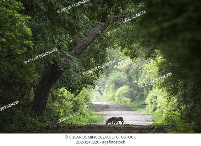 Indian Jackal (Canis aureus indicus), two in search of food on a forest track. Keoladeo National Park. Bharatpur. Rajasthan. India