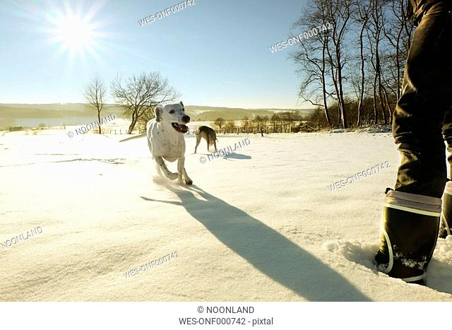 Germany, Bergisches Land, man with running dogs in winter landscape