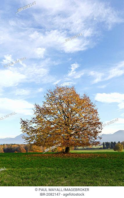 Tree in autumnal landscape, Chiemgau, Upper Bavaria, Germany, Europe